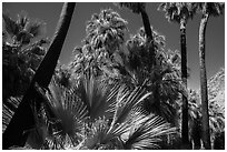 California palm trees, 49 Palms Oasis. Joshua Tree National Park ( black and white)