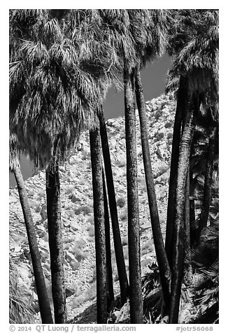 Trunks of California fan palm trees. Joshua Tree National Park (black and white)