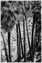 Trunks of California fan palm trees. Joshua Tree National Park ( black and white)