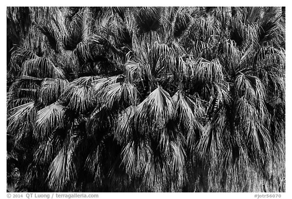 Canopy of California fan palms. Joshua Tree National Park (black and white)