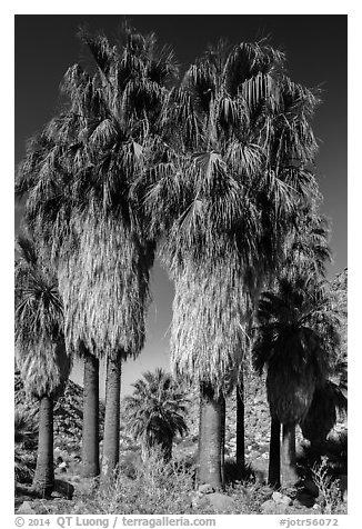 Native California fan palm trees. Joshua Tree National Park (black and white)