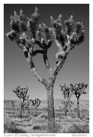 Joshua trees with seeds. Joshua Tree National Park (black and white)
