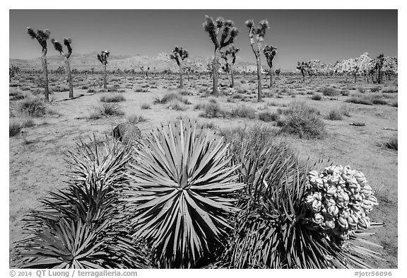 Fallen Joshua tree with bloom. Joshua Tree National Park (black and white)