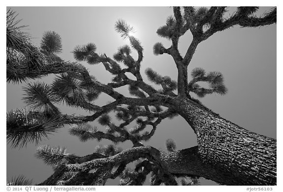 Tree yucca (Yucca brevifolia) and sun. Joshua Tree National Park (black and white)