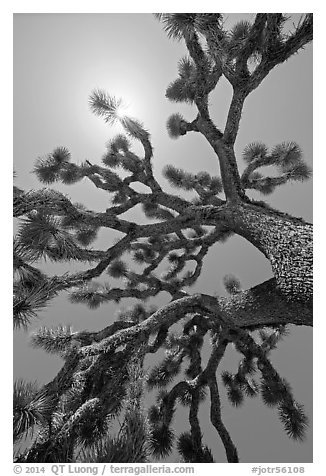 Palm tree yucca (Yucca brevifolia) and sun. Joshua Tree National Park (black and white)