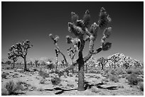 Palm tree yuccas in seed. Joshua Tree National Park ( black and white)