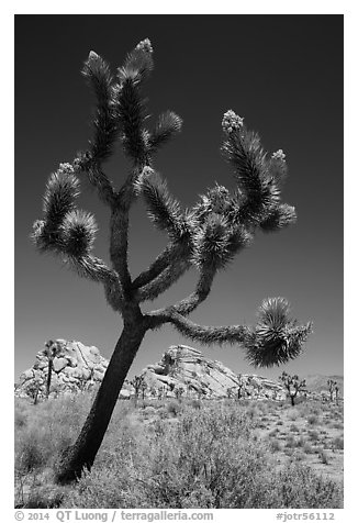 Palm Tree Yucca (Yucca brevifolia) with seeds. Joshua Tree National Park (black and white)