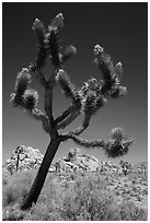 Palm Tree Yucca (Yucca brevifolia) with seeds. Joshua Tree National Park ( black and white)