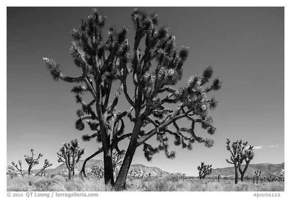 Multi-branched Joshua tree with seeds. Joshua Tree National Park (black and white)