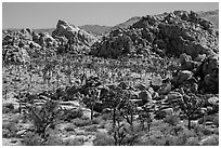 Joshua tree forest and piles of boulders. Joshua Tree National Park ( black and white)