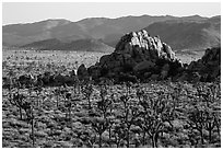 Joshua tree grove and rock outcrops in Hidden Valley. Joshua Tree National Park ( black and white)