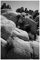 Flowers growing out of boulders near Squaw Tank. Joshua Tree National Park ( black and white)