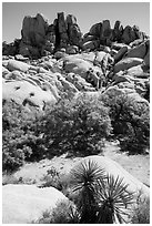 Vegetation in Squaw Tank. Joshua Tree National Park ( black and white)