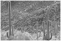 Saguaro cacti forest on hillside, West Unit. Saguaro National Park ( black and white)