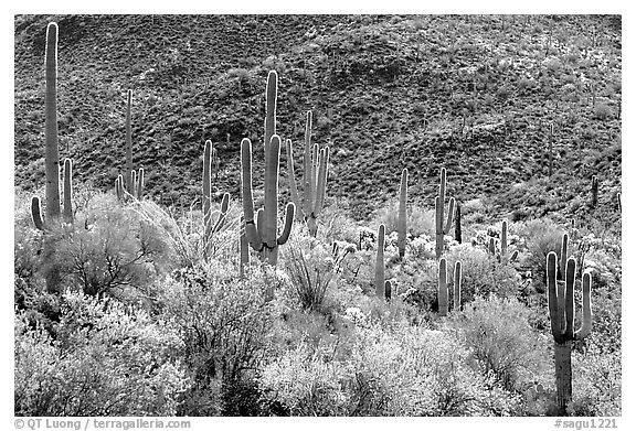 Saguaro cacti forest on hillside, Tucson Mountain District. Saguaro National Park (black and white)