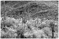 Saguaro cacti forest on hillside, West Unit. Saguaro National Park, Arizona, USA. (black and white)