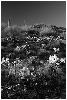 Cholla cactus on hillside. Saguaro National Park ( black and white)