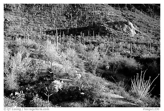 Saguaro cacti forest and occatillo on hillside, West Unit. Saguaro National Park (black and white)