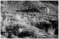 Saguaro cacti forest and occatillo on hillside, West Unit. Saguaro National Park, Arizona, USA. (black and white)