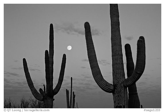Saguaro cactus and moon at dawn. Saguaro National Park, Arizona, USA.