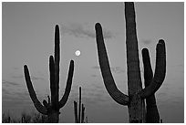 Saguaro cactus and moon at dawn. Saguaro National Park, Arizona, USA. (black and white)