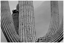 Arms of Saguaro cactus. Saguaro National Park, Arizona, USA. (black and white)