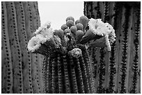 Saguaro cactus blooms. Saguaro National Park, Arizona, USA. (black and white)