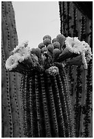 Saguaro cactus flowers and arm. Saguaro National Park, Arizona, USA. (black and white)