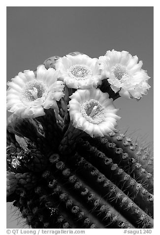 Saguaro cactus flowers against blue sky. Saguaro National Park (black and white)
