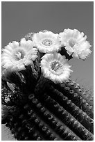 Saguaro cactus flowers against blue sky. Saguaro National Park ( black and white)