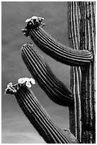 Arms of blooming Saguaro cactus. Saguaro National Park, Arizona, USA. (black and white)