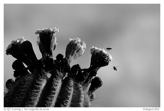 Saguaro cactus flower and bees. Saguaro National Park (black and white)