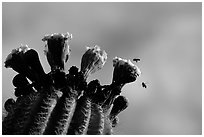Saguaro cactus flower and bees. Saguaro National Park, Arizona, USA. (black and white)