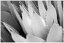 Cactus detail, Arizona Sonora Desert Museum. Tucson, Arizona, USA (black and white)