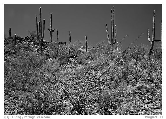 Ocatillo and Saguaro cactus on hillside. Saguaro  National Park (black and white)