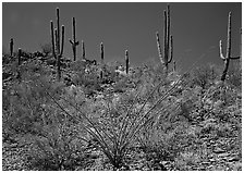 Ocatillo and Saguaro cactus on hillside. Saguaro  National Park ( black and white)