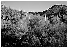 Palo Verde and saguaro cactus on hill. Saguaro National Park ( black and white)