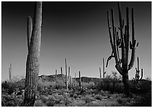 Saguaro cacti (scientific name: Carnegiea gigantea), late afternoon. Saguaro National Park ( black and white)