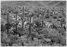 Ocatillo and saguaro cactus in valley. Saguaro National Park, Arizona, USA. (black and white)