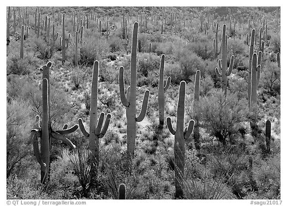 Saguaro cactus, backlit with a rim of light. Saguaro  National Park (black and white)