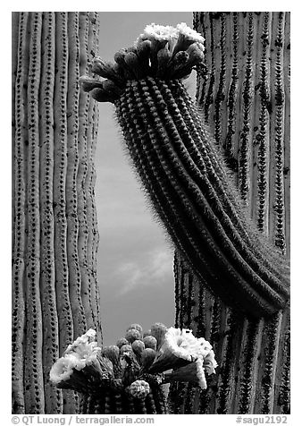 Saguaro cactus in bloom. Saguaro National Park (black and white)