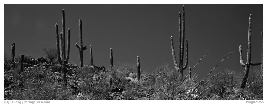 Saguaro cactus on hill under pure blue sky. Saguaro National Park (black and white)