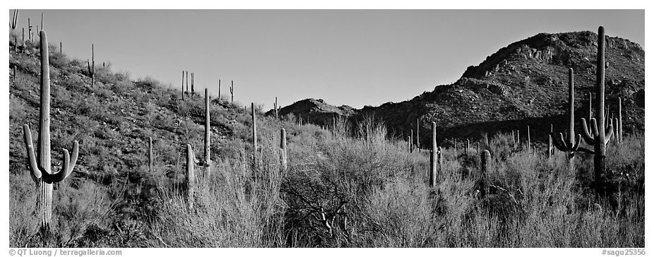 Sonoran desert landscape with sagaruo cactus. Saguaro National Park (black and white)