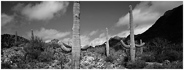 Saguaro cacti in arid landscape. Saguaro  National Park (Panoramic black and white)