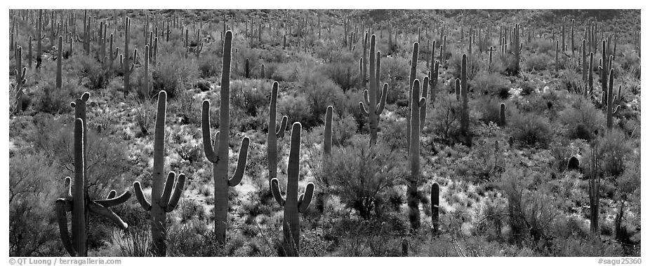 Dense forest of giant saguaro cactus. Saguaro National Park (black and white)