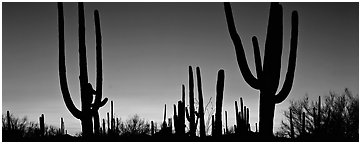 Saguaro cactus silhouettes at sunset. Saguaro  National Park (Panoramic black and white)