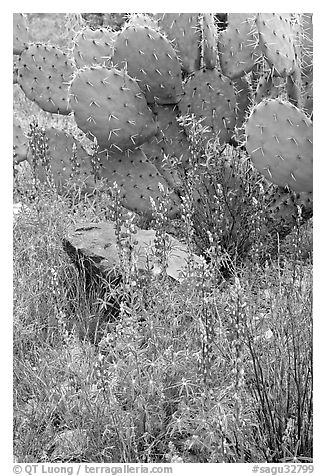 Royal lupine and prickly pear cactus. Saguaro National Park (black and white)
