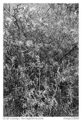 Royal lupine and fairy duster. Saguaro National Park (black and white)