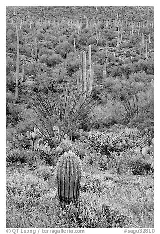Lupine, saguaro cactus, and occatillo. Saguaro National Park (black and white)