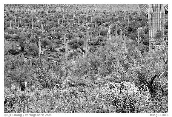 Sonoran desert in bloom, Tucson Mountain District. Saguaro National Park (black and white)